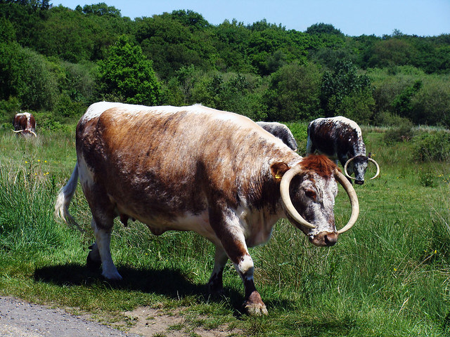 English Longhorn cow  Flickr  Photo Sharing