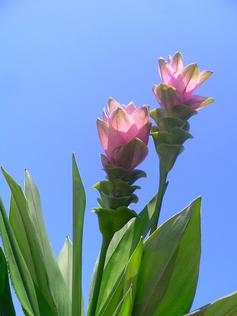 Curcuma alismatifolia Siam Tulips  The Siam Tulip or Summ  Flickr