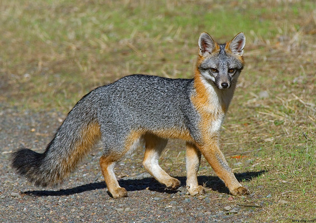 Gray Fox Posing Coyote Hills Regional Park Fremont