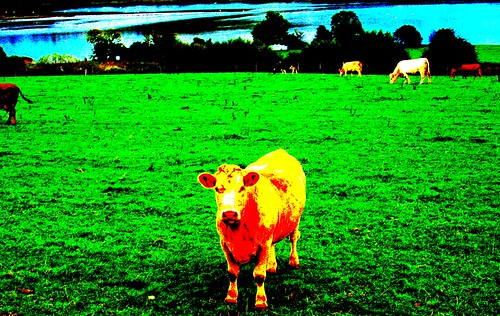 An oversaturated cow out standing in her field  The contr  Flickr