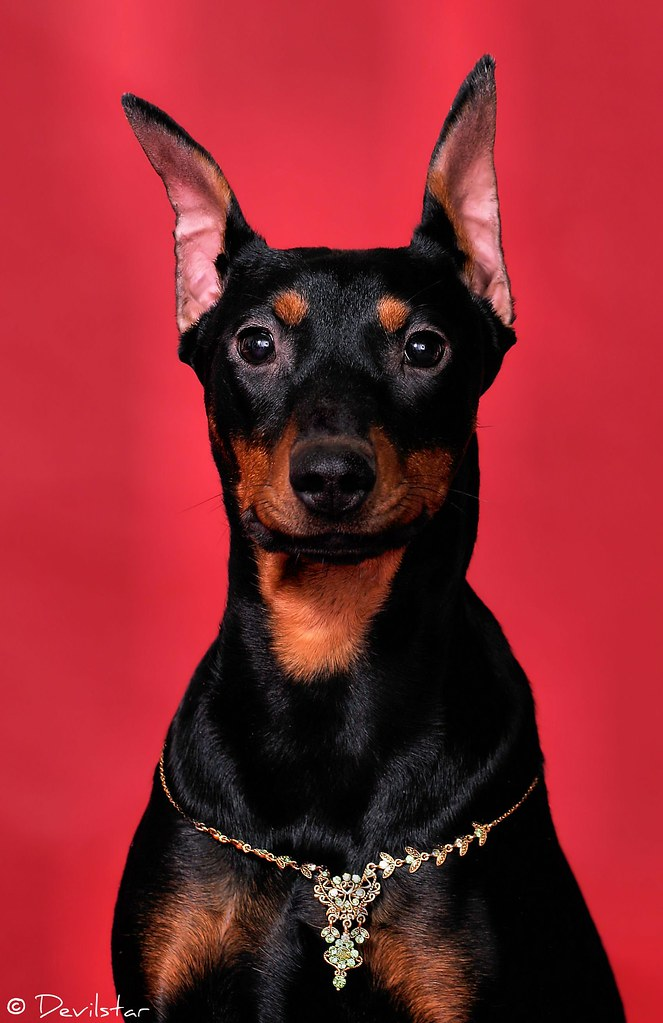 German Pinscher  People often think that my girl Tequila