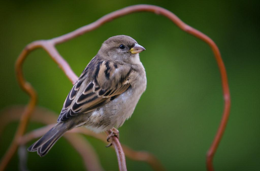 Polish Popular Bird  Call Me Sparrow  Grzegorz Grzesiak