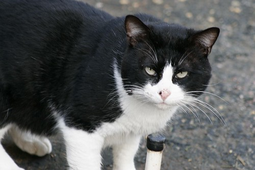 Tuxedo Tom Cat This Young Adult Feral Tom Cat Looks Very