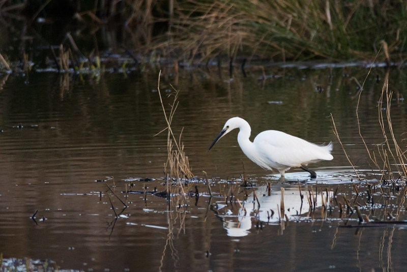 Little Egret at Leighton Moss