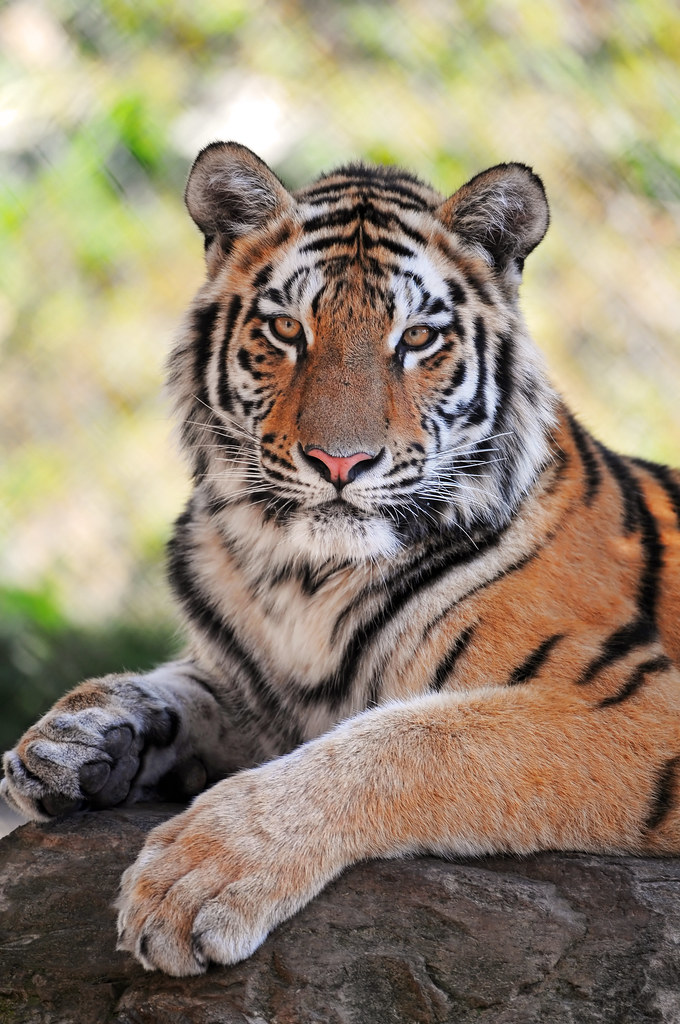 Nice 3d Wallpaper Posing Young Tiger A Sibling Of The Tiger From The