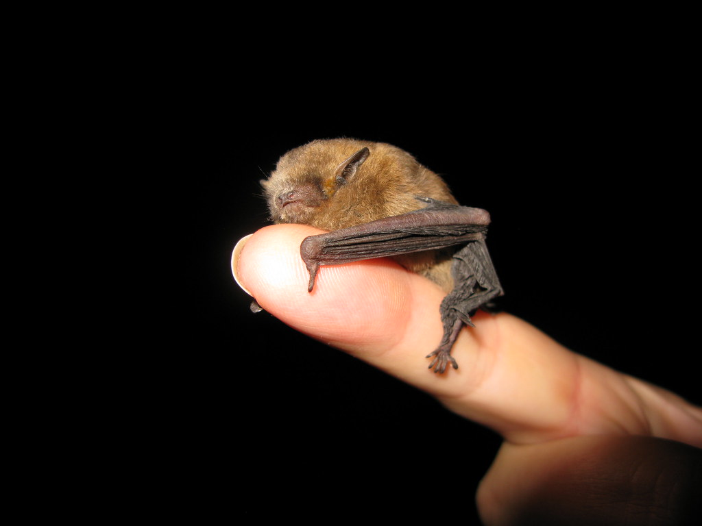 Cute Map Wallpaper Pipsqueak This Little Guy Is Either A Common Pipistrelle