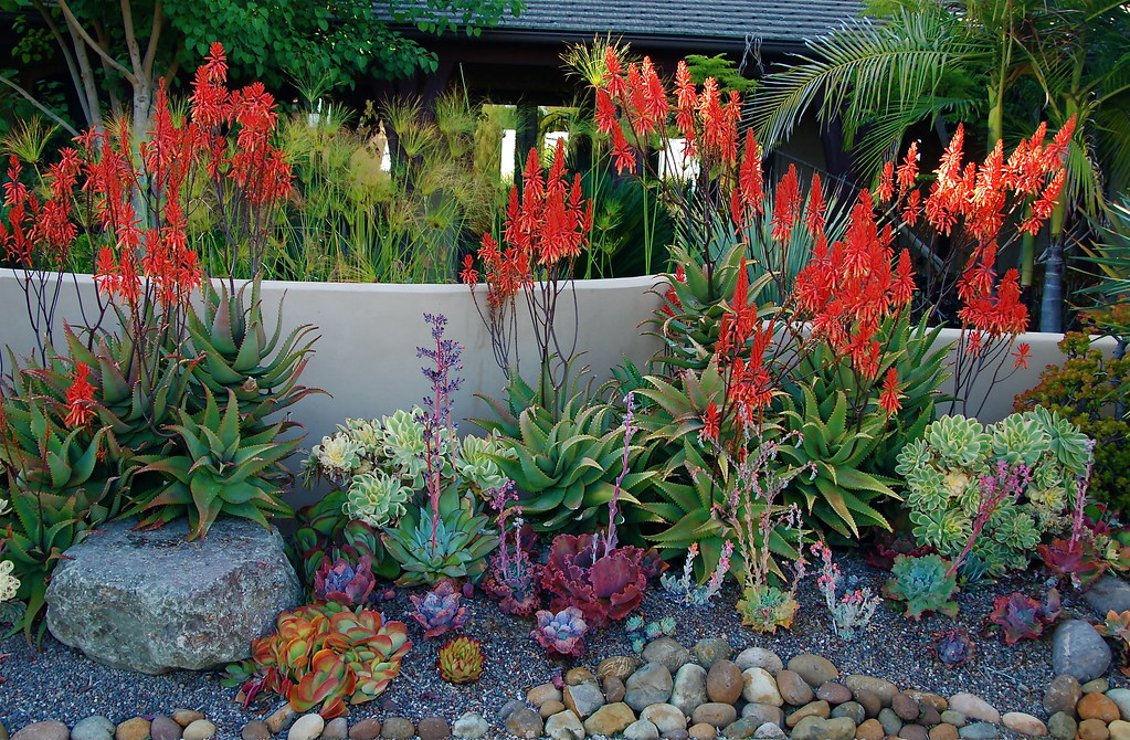 Aloe Elgonica In Full Bloom DSC 0138 Carolyn's Garden Lan Flickr