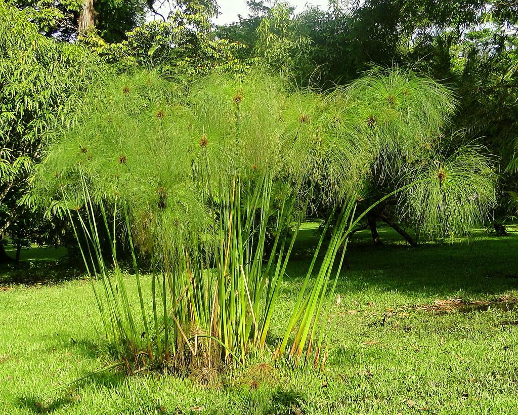 Papiro Cyperus papyrus  Lugar Finca La Pomarrosa