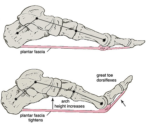 Truss Stress Diagram Windlass Mechanism When The Great Toe Is Dorsiflexed