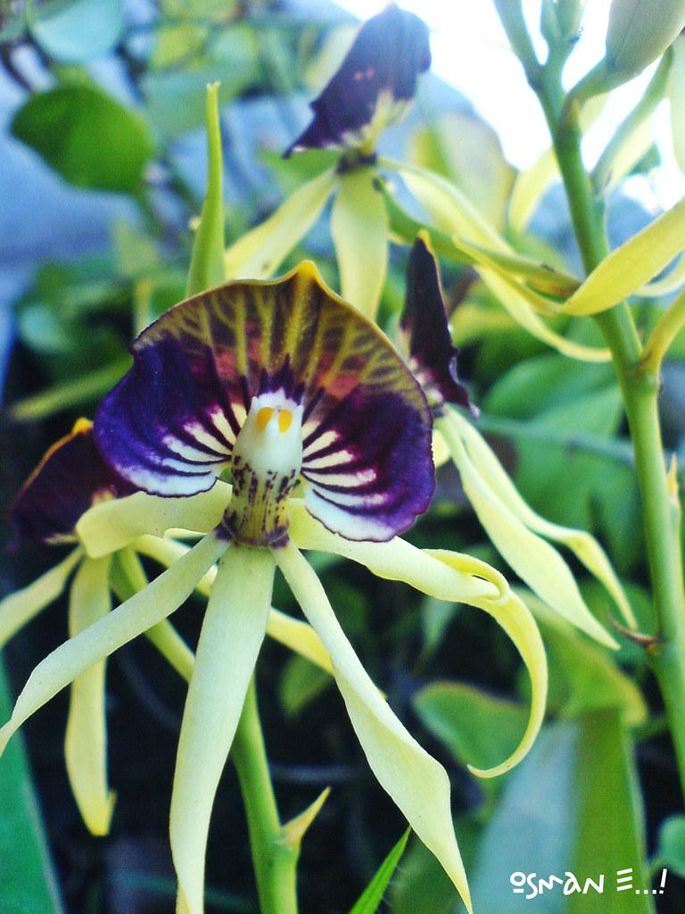 Orquidea Negra  Es una pequea Orquidea Negra D de mi