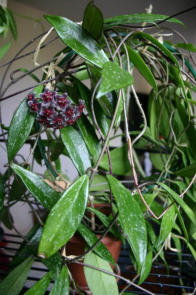 Hoya pubicalyx cv Red Button  vgonnot  Flickr