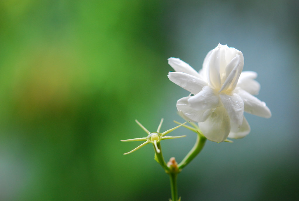 Jasmine Mogra  Abhijit Tembhekar  Flickr