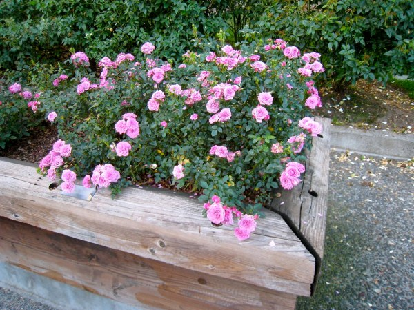 Lavender Jewel miniature rose fuzzyjay Flickr