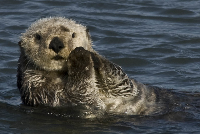 Otter Cute Wallpaper Sea Otter Enhydra Lutris Morro Bay Chuck Abbe Flickr