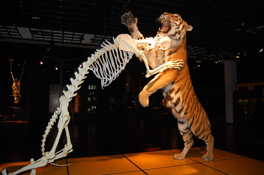 Tiger  Skeleton vs flesh  Picture of dissected animal in