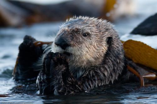 2 of 9 Sea Otter Enhydra lutris female marine mammal