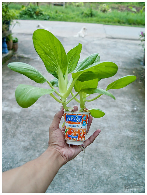 3 mobile DIY hydroponics Pot by yoghurt cup | b inxee | Flickr