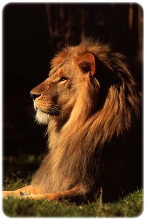 Lion Animal Wallpaper Quot Le 243 N De La Tribu De Jud 225 Quot El Leon De La Tribu De Jud 225
