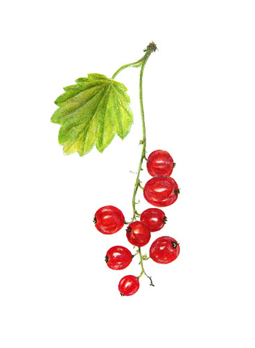 Redcurrant Ribes Rubrum Aalbes From My Garden