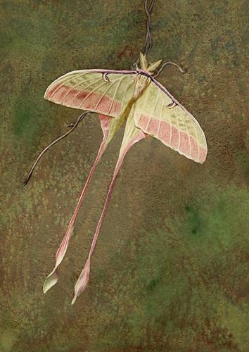 Chinese Luna Moth Actias dubernardi  watercolor on