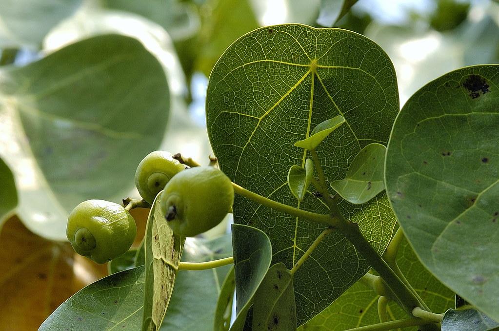蓮葉桐科 蓮葉桐屬 蓮葉桐 (葉果) 科博館 Hernandia nymphaeifolia | 翁 ...