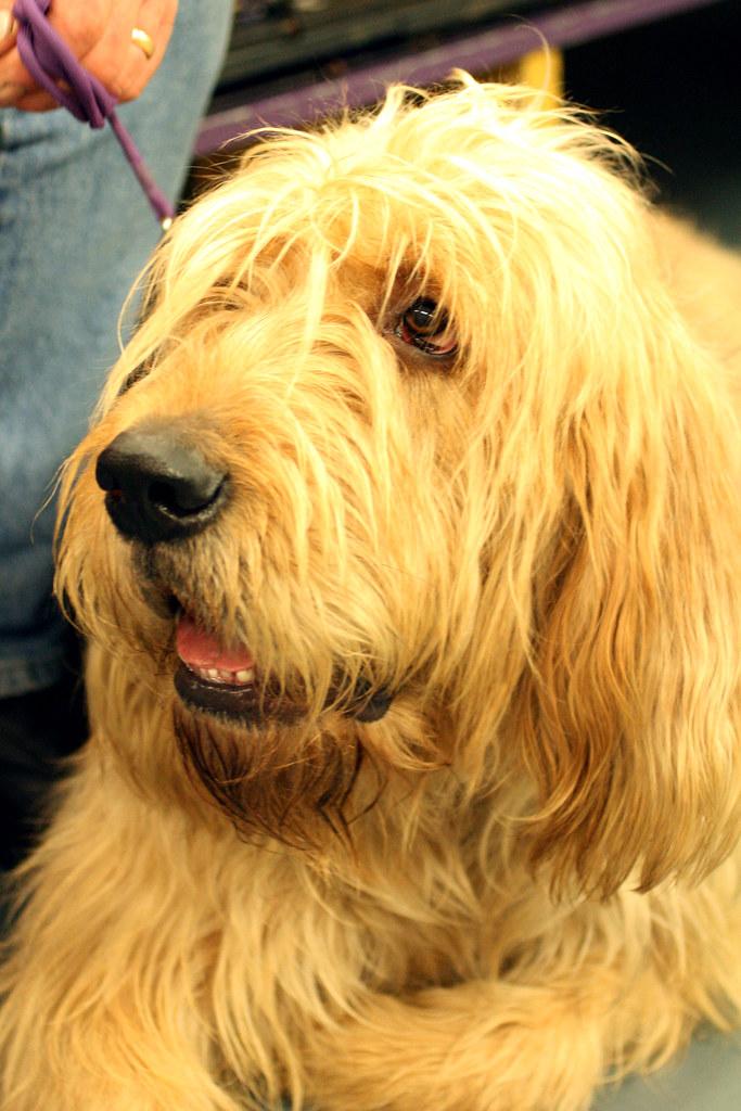 Westminster Dog Show Otterhound  The Otterhounds exact