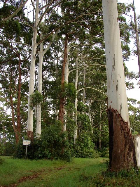 Eucalyptus Grandis Flooded Gum Eucalypt Magnifisent