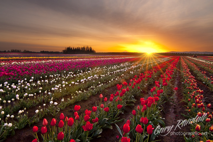 Flowery Flare of Morning Light  Wooden Shoe Tulip Field