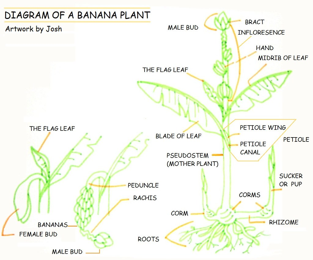 flower diagram career of fluid mosaic model cell membrane banana plant a i made the parts