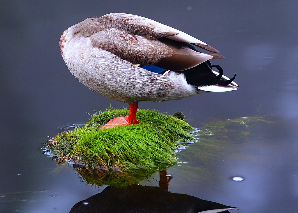 I shot this headless one legged Duck with a Canon  Flickr