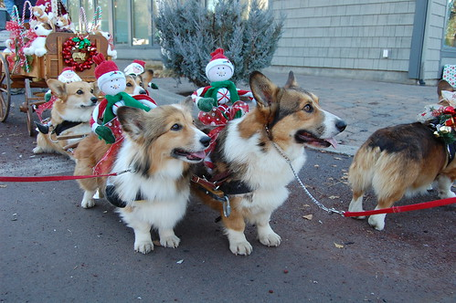 Corgi Wallpaper Cute Corgi Sleigh Prepping The Corgis For Their Moment Of