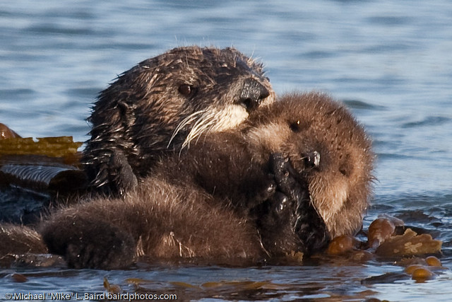 Sleeping Cute Baby Wallpaper Sea Otter Mother With Pup Beside Morro Bay Ca 14 Dec 2009