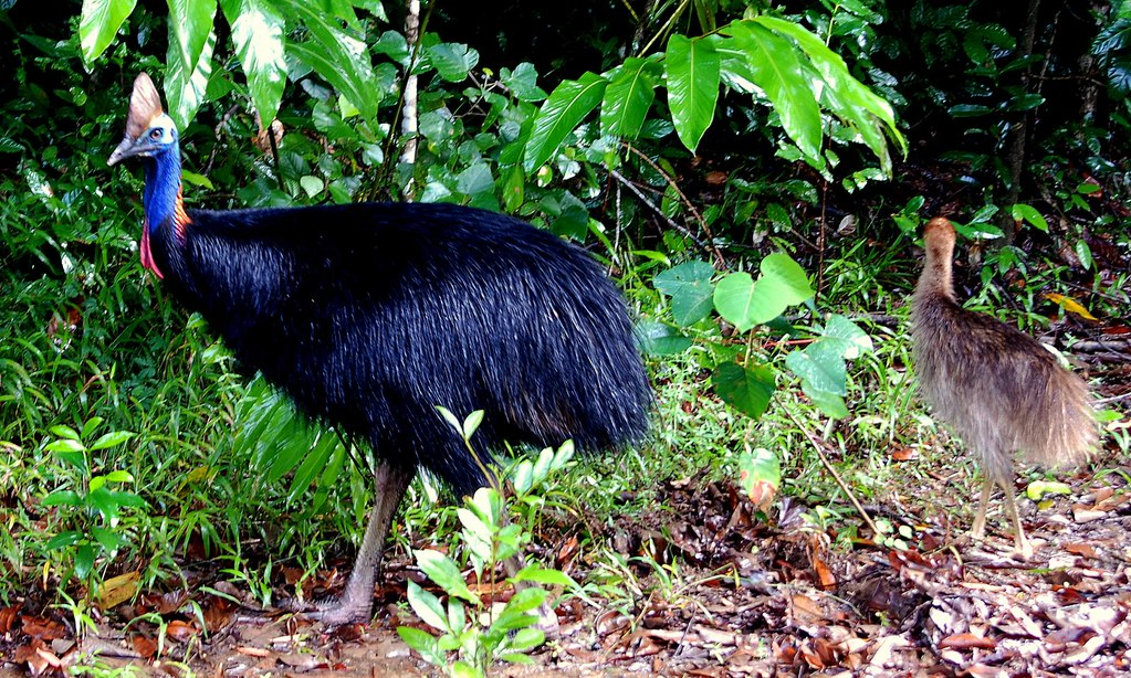 A Wild Cassowary  its Chick  We got lucky and ran into a  Flickr