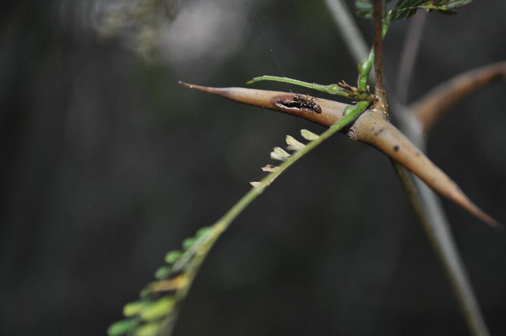 More Ant Mutualism  Pseudomyrmex sp and Acacia