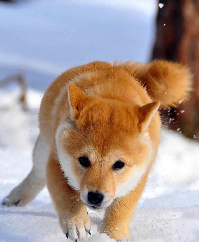 A Shiba Puppy In The Snow Nikon D90 18 200VR 95mm 1