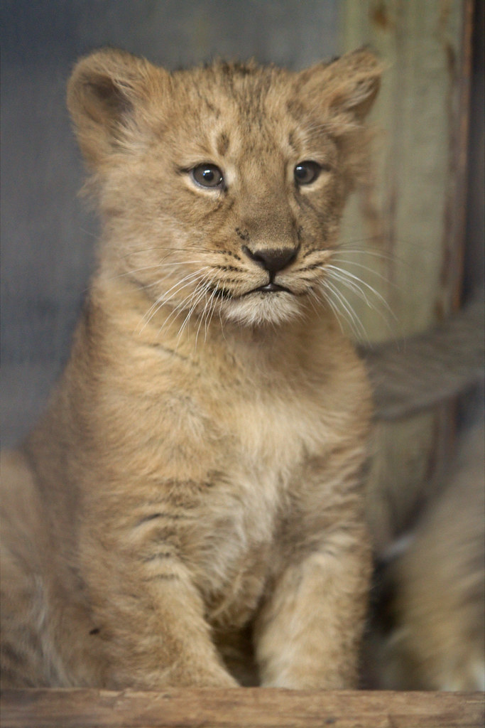 Baby lioness Naui  Naui means nine in Hindi language She