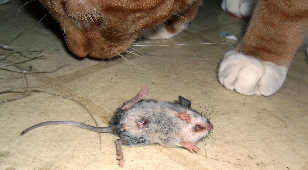 20091215  cats vs mouse 24  0  GEDC1179  Lemonjello