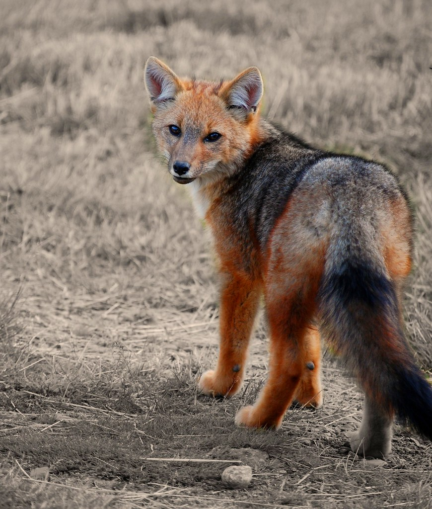 Culpeo Fox  Taken on the way to Torres del Paine National P  Flickr