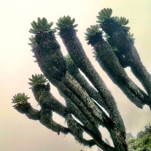 Παράξενη βλάστηση του ορους Κιλιμαντζάρο