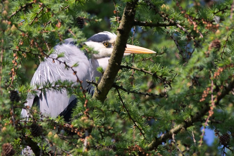 Grey Heron watching over the Heronry