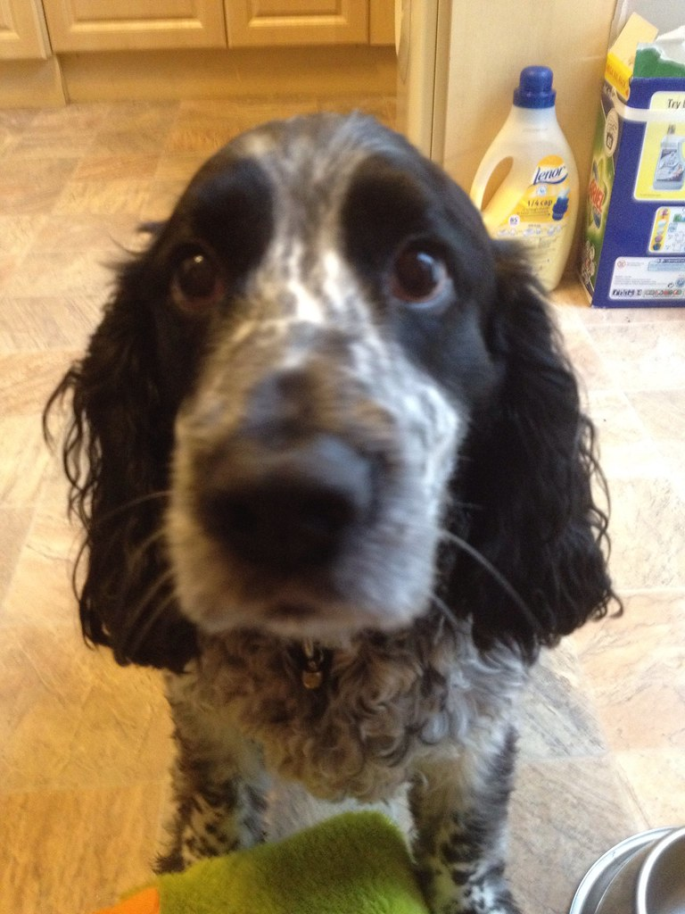 Blue Roan English Cockerspaniel looking guilty  This is