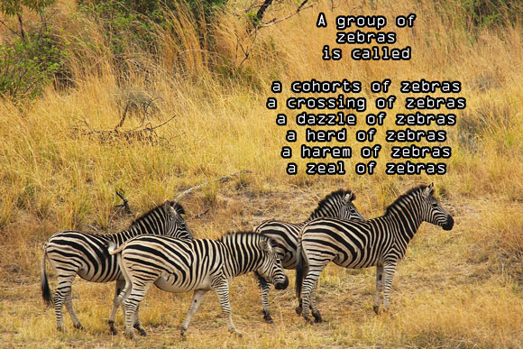 Z #AtoZChallenge Zeal of Zebras #Fiction #SFF
