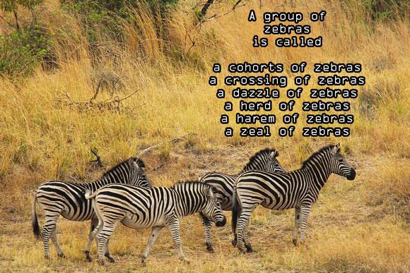 Z #AtoZChallenge Zeal of Zebras #Fiction #SFF