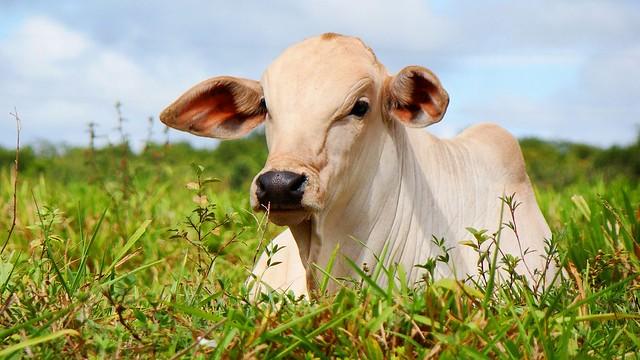 50 lotes de bovinos, equinos, ovinos e bubalinos vão à leilão hoje no Sirsan, nelore - bezerro