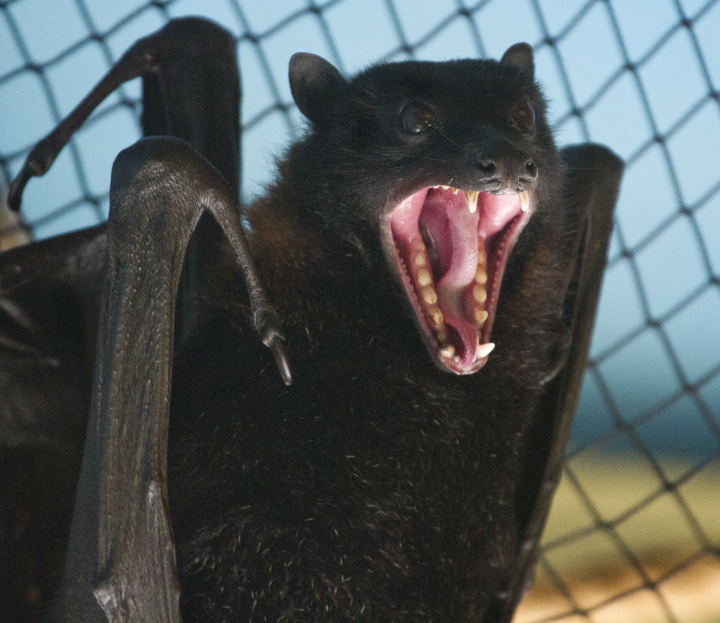 Bat fangs  one reason not to mess with these guys