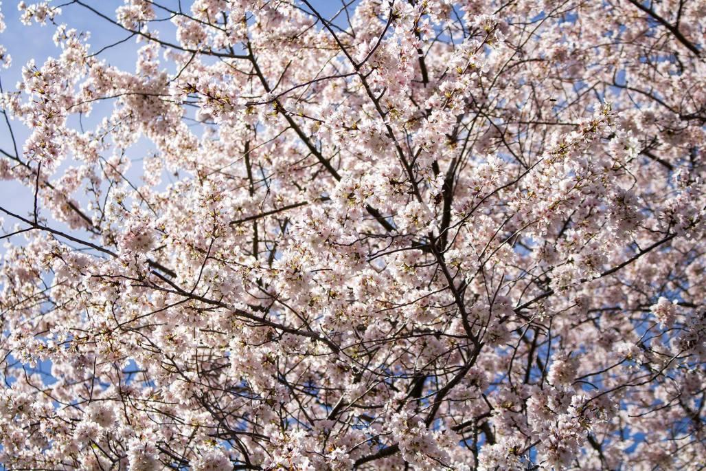 Cherry blossom against the sunlight