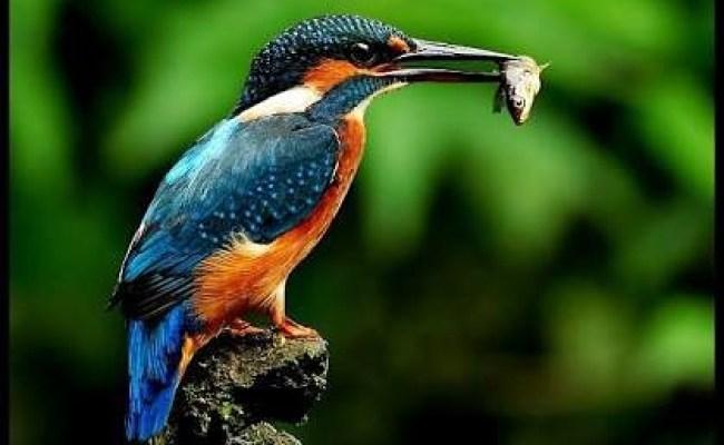 Burung Tengkek Raja Udang Jenis Ini Paling Rakus Cute766
