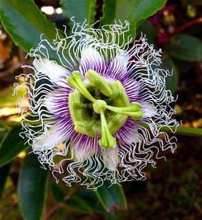 passiflora edulis passion fruit flower in mount kinabalu national park