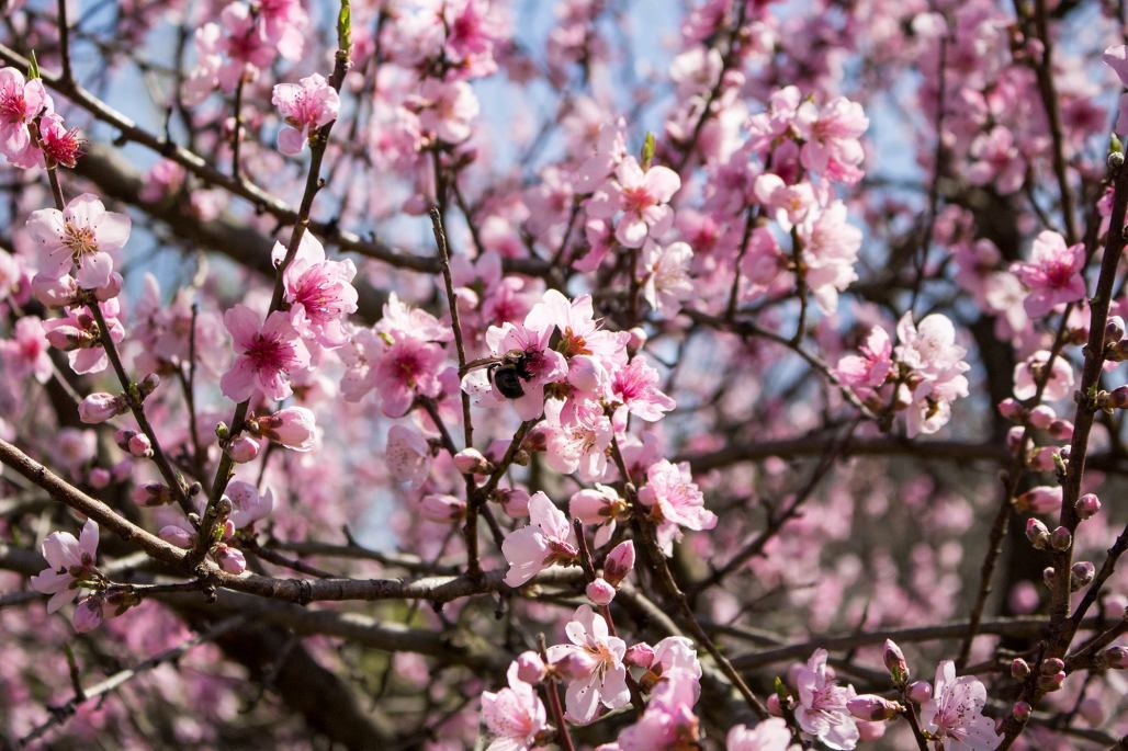 A peach tree's pink blossoms and a bumblebee