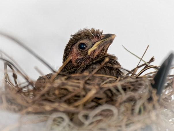 Cardinal chick